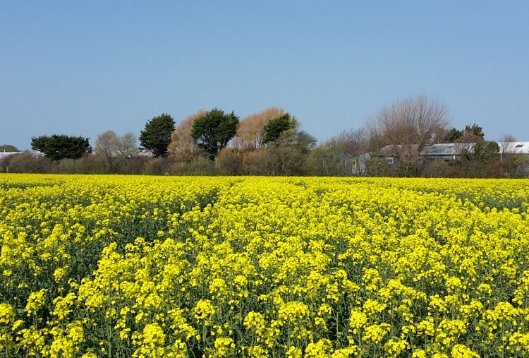 2019 AICC Oilseed Rape Trials